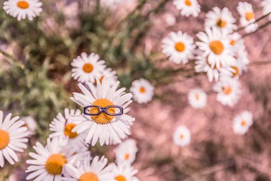 Бесплатные фотостоки - пример фото ромашки в очках с фотостока Gratisography